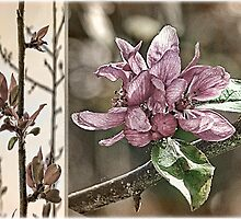 Crabapple Tree Diptych by Brenda Boisvert
