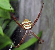 St Andrew's spider by Daphne Gonzalvez