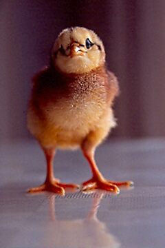 Baby Chick  by Photo-Bob