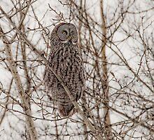 Great Grey Owl by peaceofthenorth