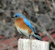 Eastern male Bluebird by Samohsong