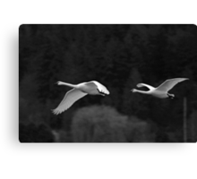 trumpeter swan pair flying by Canvas Print