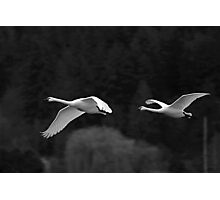 trumpeter swan pair flying by Photographic Print