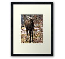 Young bull moose Framed Print