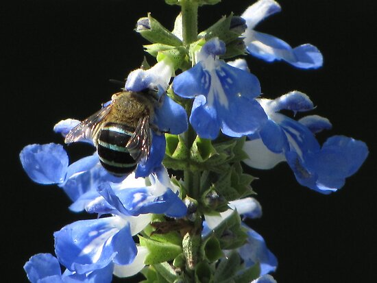 Blue Banded Bee! by KiriLees