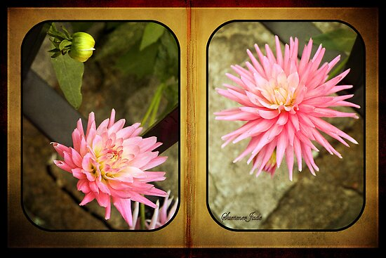 Pink Dahlias in an Old Worn Book by SummerJade