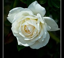 Soft White Rose - - Posters & More by Maria A. Barnowl