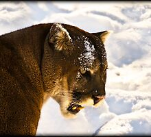 Cougar by Sue Ratcliffe