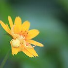 Yellow Crab Spider by Edyta Magdalena Pelc