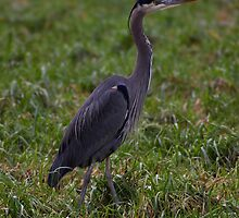 handsome heron by dedmanshootn