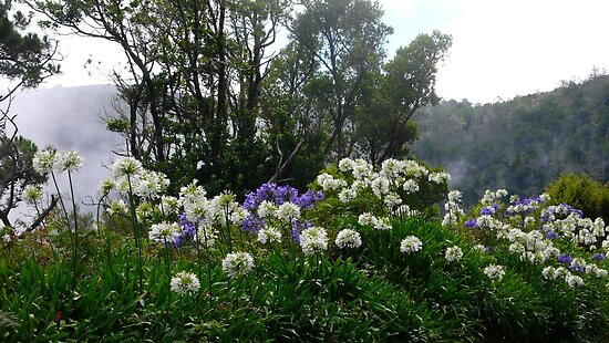 white and blue agapanthes in Madeira island by supergold