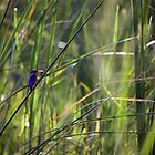 Malachite Kingfisher by Nicholas Perry