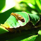 Orchard Swallowtail Caterpillar 2 by Vanessa Barklay