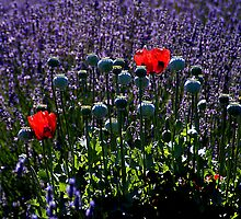 Lavender Field Poppies - - Cards by Maria A. Barnowl