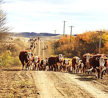 Cattle drive, Alberta by Lee Gunderson
