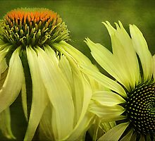 Echinacea Duo by hampshirelady