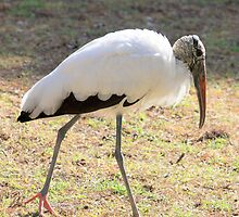 Wood Stork ~ I FEEL Pretty by AuntDot
