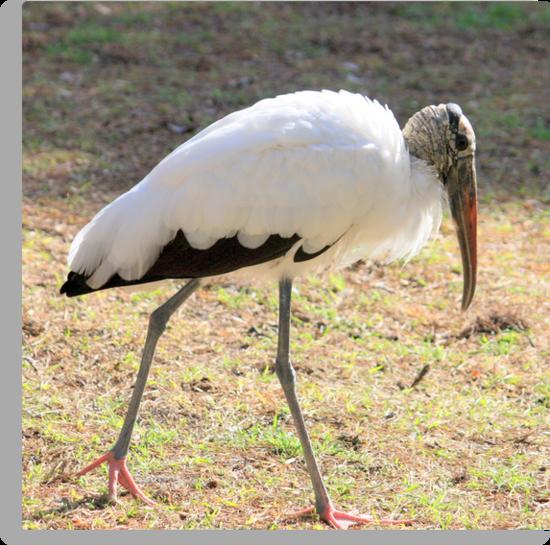 Wood Stork ~ I FEEL Pretty by AuntDot