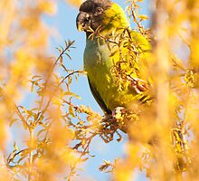"""Bird In Paradise"" - wild Nanday Conure in Largo, Florida by John Hartung"