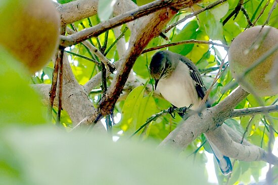 Mockingbird in my fruit tree by ♥⊱ B. Randi Bailey