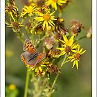 Small Copper Butterfly by Oaktreephoto