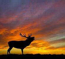 Roaring Stag at Sunset by Oaktreephoto