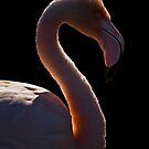 Flamingo at Slimbridge by Shaun Whiteman