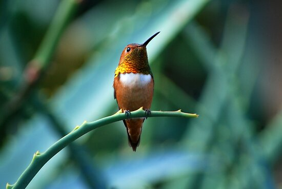 Hummingbird by saseoche