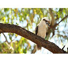 Laughing Kookaburra - Dacelo novaeguineae Photographic Print