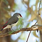 Diamond Firetail Finch - Stagonopleura guttata by clearviewstock