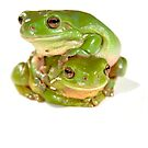 Two litoria caerula - green tree frogs one on top of the other by clearviewstock