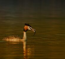 Great Crested Grebe by santanu