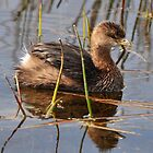 Pied-billed Grebe by Dennis Stewart