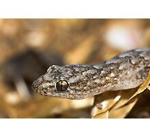 Marbled Gecko - Christinus Marmoratus Photographic Print