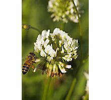 Bee on clover Photographic Print