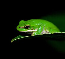 Little Dwarf Green Tree Frog (Litoria Fallax) by clearviewstock