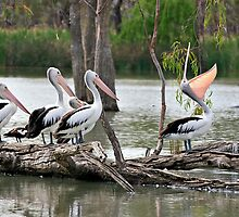 Shut it Bob! A showoff pelican by clearviewstock
