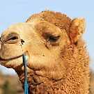 I'm waiting...Camel Rides in the desert. by clearviewstock