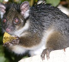 Sweet treat - one wet Ring-tail Possum by evelynvdh