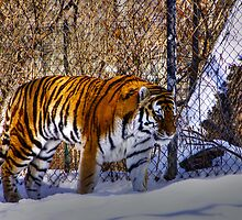 Tiger, Tiger in your tank? by BigD