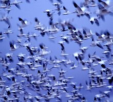 Snow Geese in Flight by Dale O'Dell