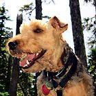 Dexter Jones Welsh Terrier  by Don Siebel