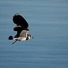 Northern Lapwing by Jon Lees
