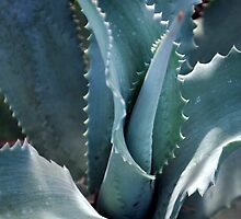 Succulents- Blue Aloe by rebelflowers