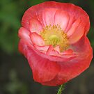 A Pretty Poppy by Margarite