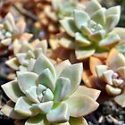 Succulents- Echeveria Masses by rebelflowers