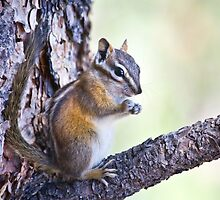 Chipmunk 2 by Kim Barton