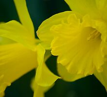 Daffodils by crystalseye