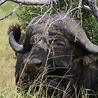 Buffelo by petraE