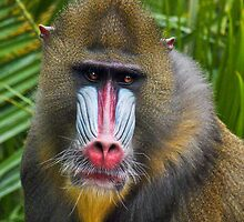 Mandrill by Lance Leopold